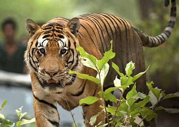 The Tiger Story Ranthambore